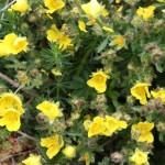 flore Aubrac